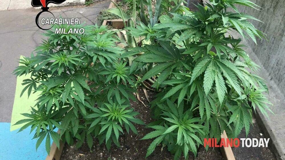 La piazza di Milano dove fiorivano sette piante di marijuana