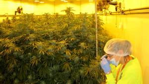 Cannabis terapeutica, Sì unanime del consiglio regionale per produrla in Lombardia