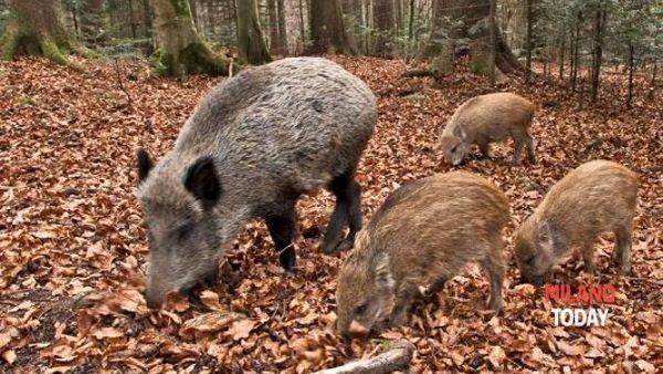 La Lombardia vuole abbattere i cinghiali, di nuovo (e ora sfida il governo sulla caccia)