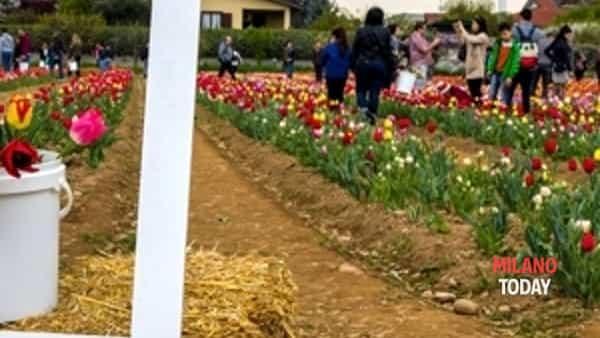 tulipani italiani edizione 2018-2