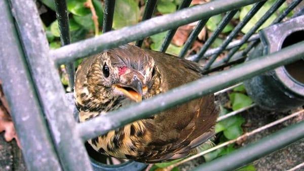 Protesta anti caccia: il 21 settembre associazioni contro cattura uccelli selvatici