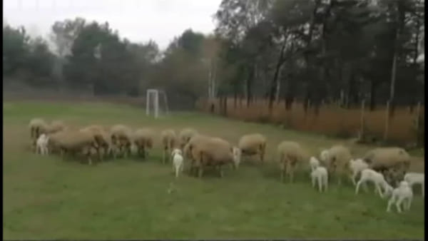 """Le pecore che """"tagliano"""" l'erba del comune: la novità presentata dal """"sindaco pastore"""""""