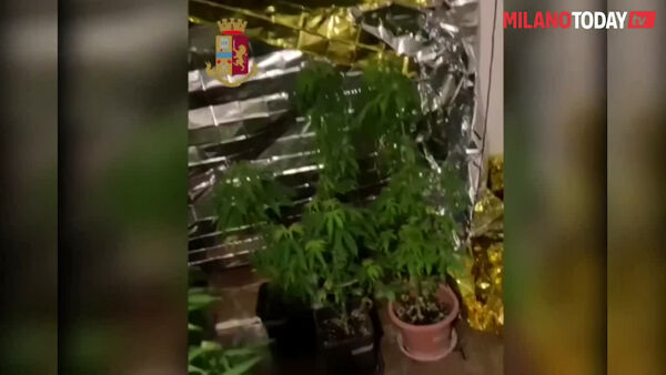 Milano: la Polizia lo ferma in strada con uno spinello, ma in casa scopre una serra di marijuana. Video