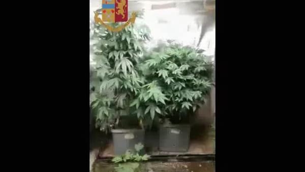 """Milano, una serra con 30 piante di marijuana nella stanza: """"Ho il certificato medico"""". Video"""