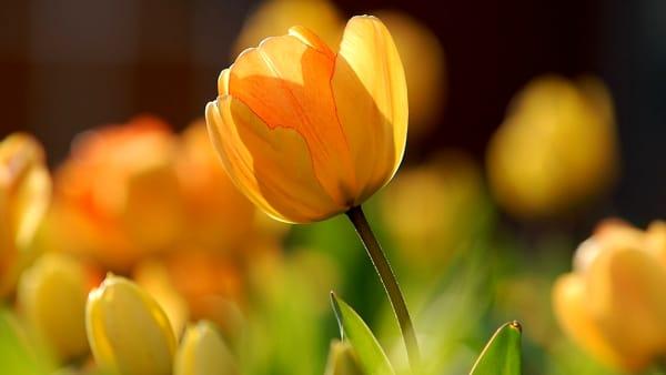 Evento rimandato: Tre giorni di raccolta dei tulipani a Villa Arconati-FAR