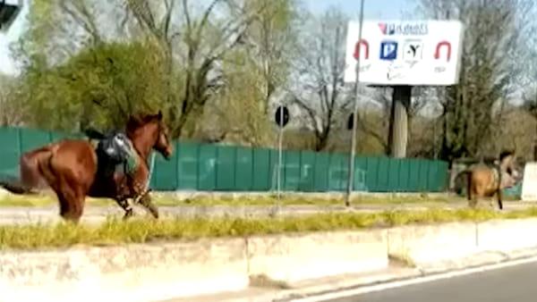 Milano, il curioso avvistamento: due cavalli galoppano liberi (e in contromano) lungo viale Forlanini