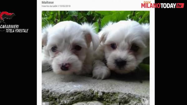 Barboncini e chihuahua dall'est Europa: a Milano e Lodi il mercato nero dei cuccioli
