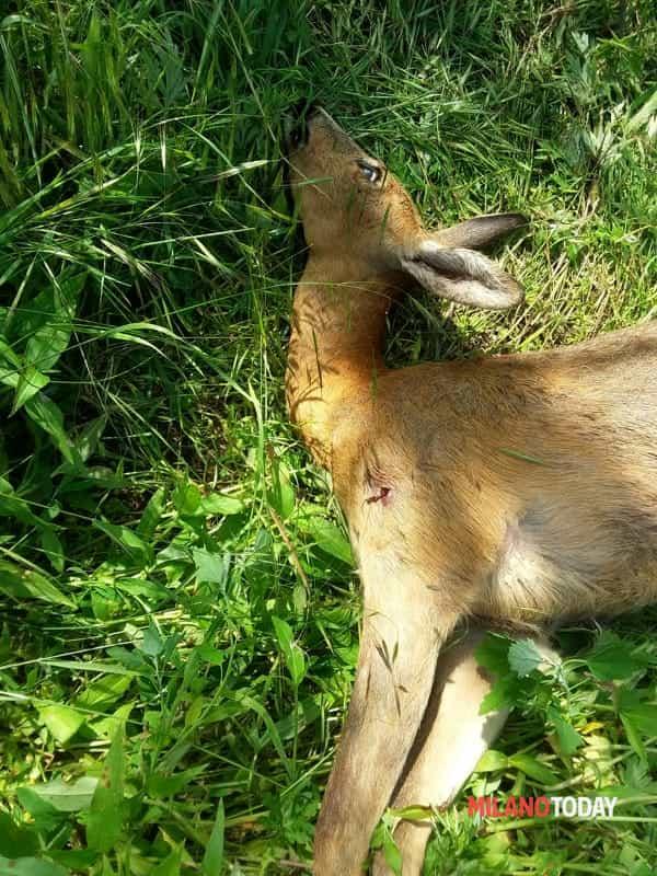 Vanzago, bracconieri violano l'Oasi Wwf : uccisa femmina di capriolo