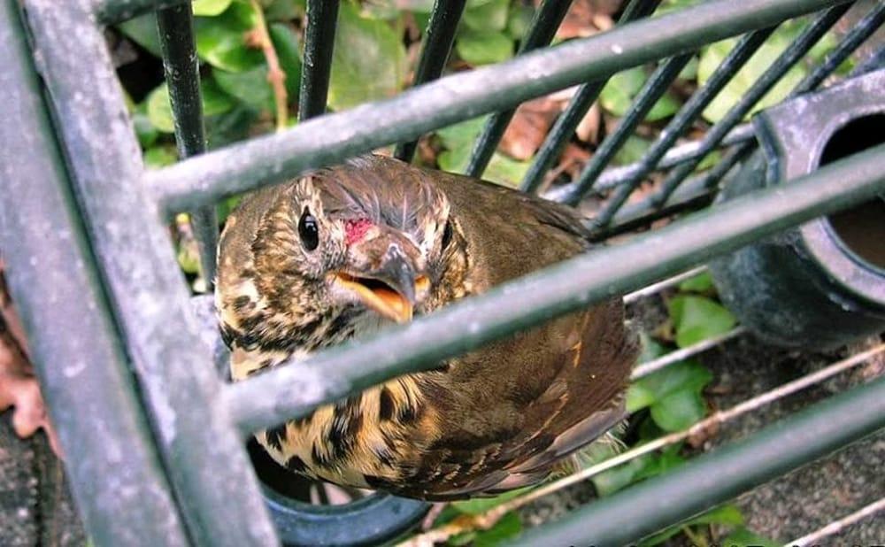 Un uccellino tenuto prigioniero dai cacciatori
